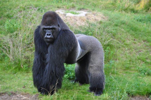 Gorilla standing up - photo#55